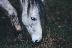 White Horse With Black Main Grazing Stock Photos