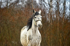 White horse with black mane Stock Photography