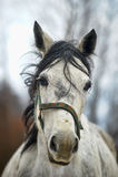 White horse with black mane Stock Photo