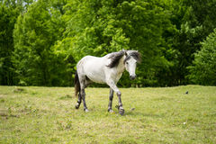 White Horse with Black Mane Stock Photos
