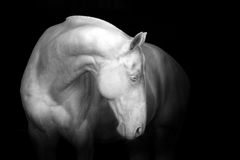White horse on black Stock Images