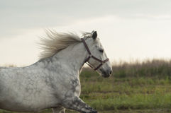 White horse with black spots running on the field Stock Photo