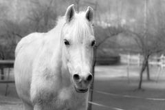 White horse black and white. Stock Photo