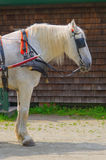 White Horse with Blinders. Mature white gelding (horse) in carriage tack (halter, collar, leads, etc.) and black blinders stands at rest, awaits command to pull Stock Image