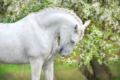 White horse in blossom. White horse portrait on spring landscape stock photography