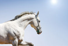 White horse on blue. Sun background Royalty Free Stock Image