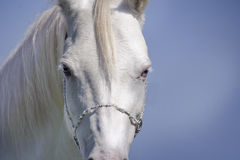 White horse blue eyes Stock Photography