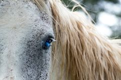 White Horse with Blue Eyes stock images