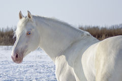 White horse with blue eyes and pink nose stands on a snowy field Stock Photos