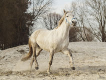 White horse in a blue halter walks on the sand against the backdrop of  skies Stock Photo