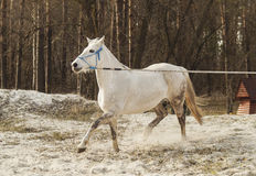 White horse in a blue halter walks on the sand against the backdrop of  skies Stock Image