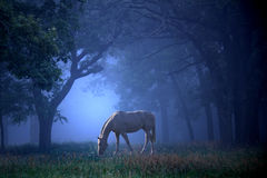 White Horse in the Blue Mist. A white horse grazing in the morning fog in the middle of an oak forest. Very fairytale mystical looking Royalty Free Stock Photos