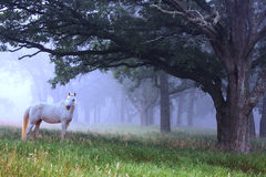 White Horse in the Blue Mist Stock Photos