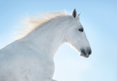White horse in blue sky Stock Photography