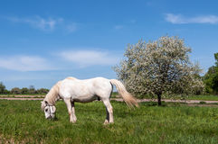 White Horse On A Blue Sky and Apple tree in spring. White horse grazing on the green lawn near Apple tree in spring with white blossoms Royalty Free Stock Photography