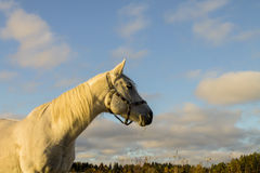 White Horse with Blue Sky on the Background Stock Photography