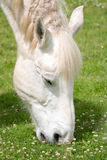 White horse with braided mane eating grass. Stock Photos