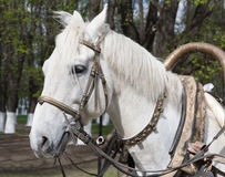 White horse bridle Stock Photos