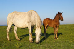 White horse and brown foal grazing on the floral meadow. White mother horse and brown foal grazing on the meadow Stock Photo