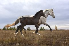 A white horse with a brown foal runs across the steppe Stock Photos