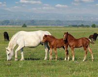 White horse and brown foals Stock Images