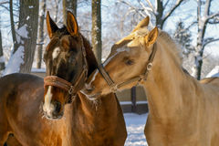 White Horse and brown Horse Royalty Free Stock Images