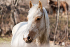 White horse. White and brown horse looking straight ahead Stock Photos