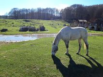 White horse in a bucolic landscape. White horse with dark points in a bucolic landscape with green meadows and a blue sky. This magnificent place is in Italy royalty free stock photography