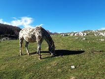 White horse in a bucolic landscape. White horse with dark points in a bucolic landscape with green meadows and a blue sky. This magnificent place is in Italy royalty free stock image