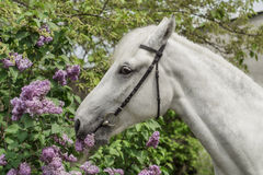 White horse on the bush background. Head of white horse on the bush background Stock Images