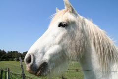 White Horse of the Camargue. Stock Images