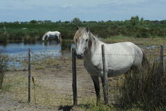 White horse of Camargue Stock Image
