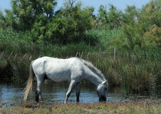 White horse of Camargue Royalty Free Stock Images
