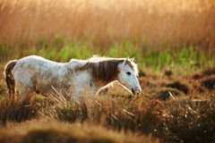 White horse of Camargue. Horse of the Camargue in backlight at sunset Stock Image