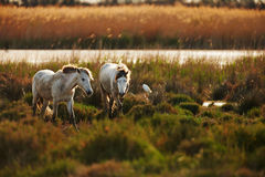 White horse of Camargue. Horse of the Camargue in backlight at sunset Royalty Free Stock Photos
