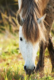 White horse of Camargue. Eating in the countryside Royalty Free Stock Photo