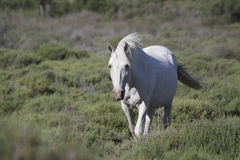 White horse in Camargue Royalty Free Stock Image