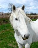 White horse in Camargue, France Stock Image