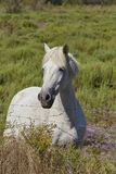 White horse in the Camargue, France stock image