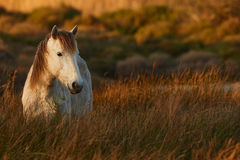 White horse of Camargue. Free in the swamp Stock Photo
