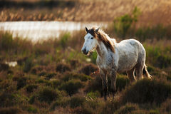 White horse of Camargue. Free in the swamp Stock Photos