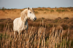White horse. Of Camargue horizontally in the countryside Royalty Free Stock Photography