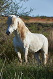 White horse of Camargue Royalty Free Stock Photography