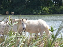 White horse of the Camargue. Picture of a white horse from the Camargue Stock Photography