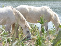 White horse of the Camargue. Picture of a white horse from the Camargue Royalty Free Stock Photography