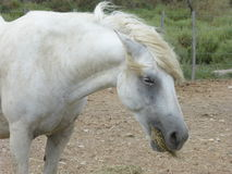 White horse of the Camargue. Picture of a white horse from the Camargue Royalty Free Stock Photo
