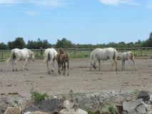 White horse of the Camargue. Picture of a white horse from the Camargue Royalty Free Stock Images