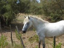 White horse of the Camargue. Picture of a white horse from the Camargue Stock Images