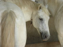 White horse of the Camargue. Picture of a white horse from the Camargue Stock Photos
