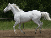 White horse canter. A white horse canters against a green foliage background. all four of horses feet are off the ground and her mane and tail are blowing in the Stock Photos